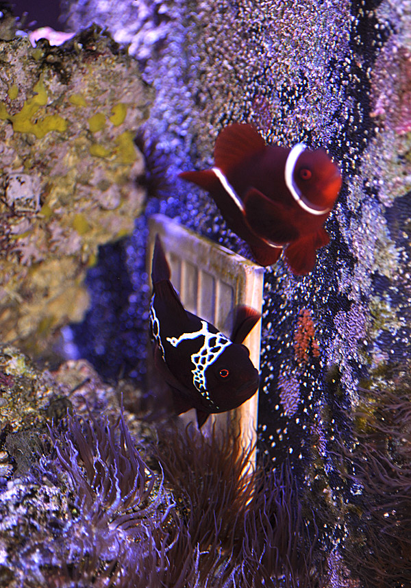 Lightning-Maroon-Clownfish-Eggs