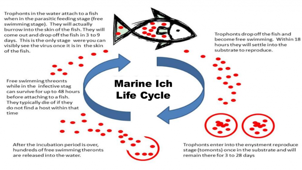 How To Remove Nitrate From The Aquarium moreover Treating Ich Guide Freshwater Aquarium furthermore mon Fresh Water Fish Diseases in addition mon Tropical Fish Diseases further Mairn Ich Cryptocaryon Irritants. on ick on freshwater fish