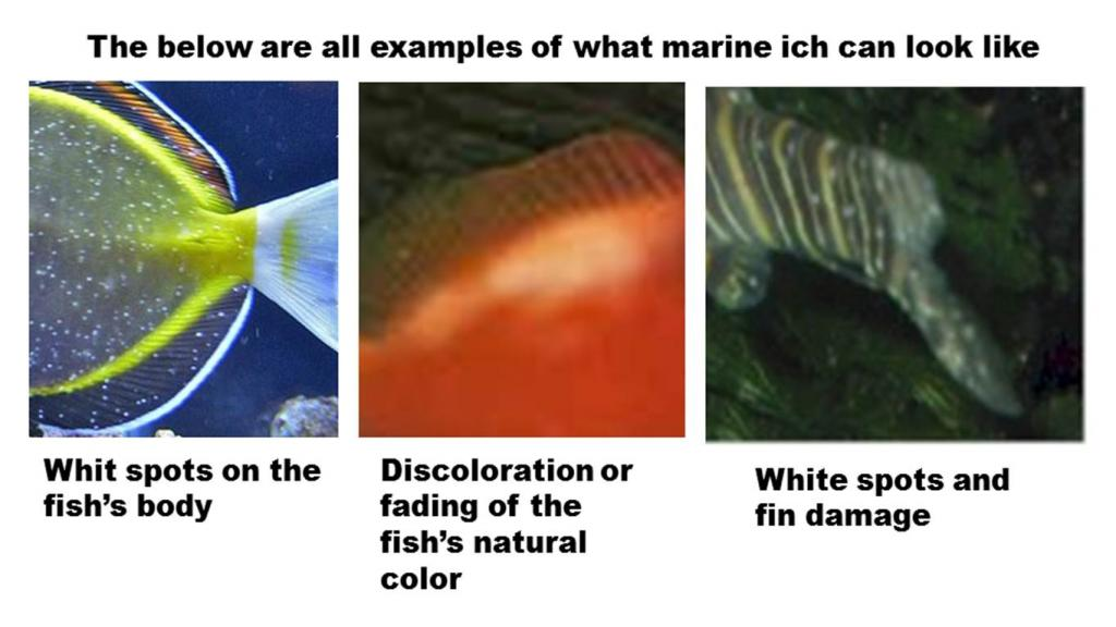 ichonfish Marine Ich (Cryptocaryon Irritants)