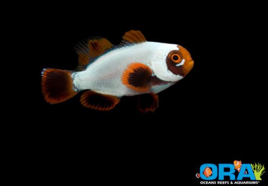 juvenile gold nugget clownfish