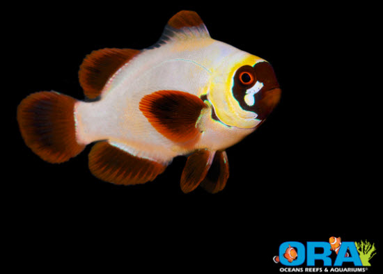 morphing gold nugget clownfish
